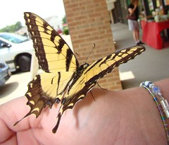 Tiger swallowtail on hand