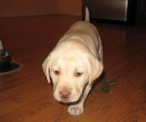 Little Izzy - Lab Puppy Picture