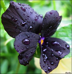 Cry Me A River ... ( Bo ) Tags: black flower macro garden droplets haribo joecocker crymeariver favemegroup3 platinumheartaward theperfectphotographer canong9 100commentgroup mupic violamollysanderson mygearandme mygearandmepremium mygearandmebronze
