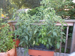 tomatoes & basil in the Earth Box