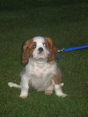 I don't do leads.....OK (Bogart Cat) Tags: puppy do dont oadby kingcharlescavalier i leadsok