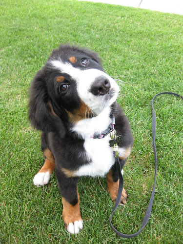 Bernese Mountain Dog - 13 weeks: Question about Coat