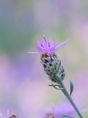 thistley bokeh (Debi123 (taking a break)) Tags: purple bokeh thistle smooth prickly explored hbw happybokehwednesday
