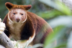 Goodfellow's Tree-Kangaroo (WilliamBullimore) Tags: animal animals zoo australia melbourne victoria melbournezoo lovepeace pianetaterra goodfellowstreekangaroo picturefantastic theperfectphotographer