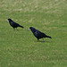Corvids at the castle