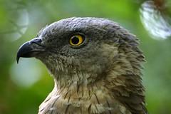 Honey Buzzard (skatepunk) Tags: bird canon eos zoo szeged birdwatcher naturesfinest honeybuzzard 400d platinumphoto avianexcellence goldstaraward