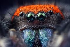jumping spider (Mundo Poco) Tags: arizona macro canon spider arachnid rebelxt eos350d jumpingspider salticidae mpe65mm macroextreme dendryphantinae phidippusapacheanus magicofaworldinmacro macrofoted apachejumpingspider fantasticinsect combinezp extremeaward