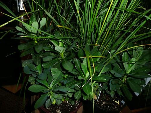 Euphorbia 'amygdaloides' robbaie
