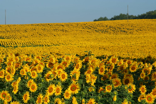 Sunflowers in the Aude