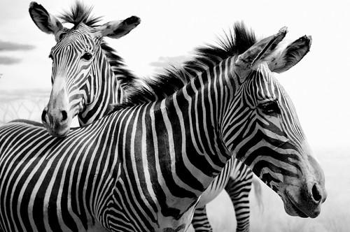 フリー画像| 動物写真| 哺乳類| 馬/ウマ| シマウマ| モノクロ写真|      フリー素材|