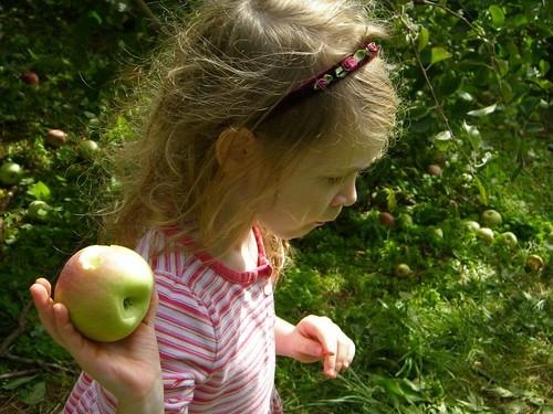 apple picking Fugi