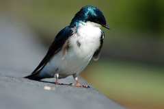 Tree Swallow by Cecil Sanders