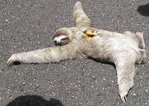 Two toed sloths introduction paragraph to essay