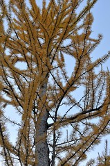 Up close with the larches