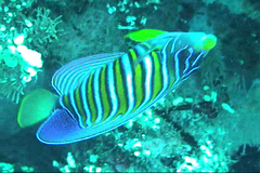 Royal Angelfish / Pygoplites diacanthus /  (TANAKA Juuyoh ()) Tags: sea fish video underwater royal scuba diving   angelfish undersea regal      pygoplites diacanthus  taxonomy:binomial=pygoplitesdiacanthus