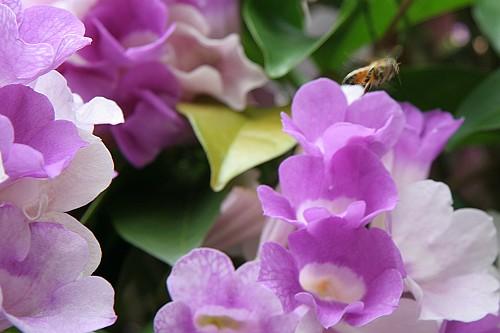 20081026F1蒜香藤的花