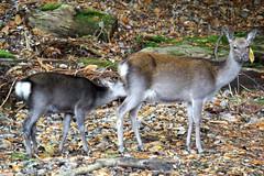 Sika deer on Brownsea Island - by Ian D Nolan
