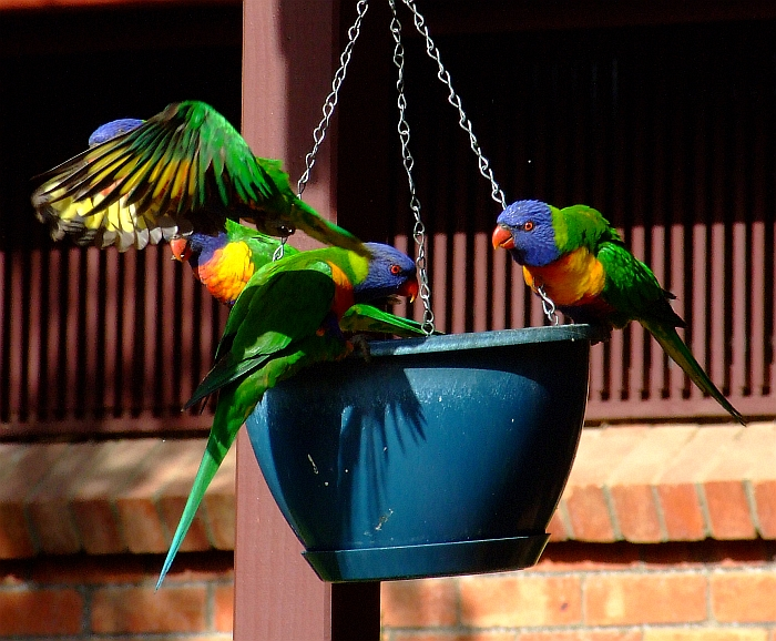 swinging rainbow lorikeets