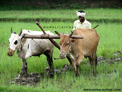 Indian Farmer (Aithal's) Tags: field paddy farmer karnataka paddyfield murali kissan aithal aithals farmergreenfield