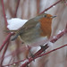 St Andrews robin in the snow