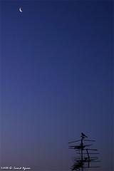Dawn Bird (Saeid Aghaei) Tags: blue sky moon bird nature canon dawn iran saeid neyshabur aghaei saeidaghaei