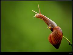 Monday blues :( (swaheel) Tags: wallpaper india macro green art nature beauty closeup digital canon eos rebel kiss zoom bokeh bangalore snail blues kerala lazy slug monday karnataka efs xsi x2 sluggish bengaluru 450d malappuram 55250 swaheel 55250is