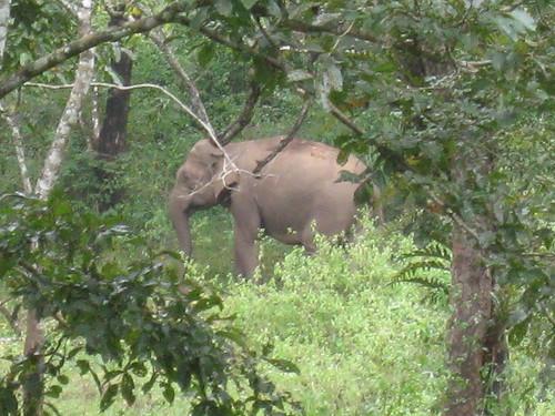 Elephants! Periyar Tiger Reserve - Kerela
