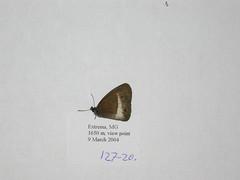 Guaianaza pronophila