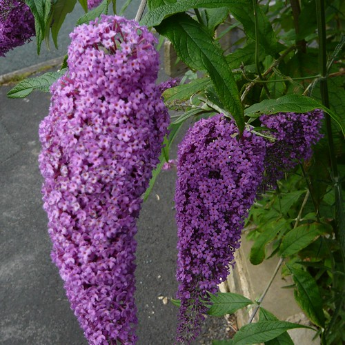 tips for growing buddleia butterfly bushes gardeners tips