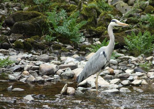 Heron by the Mawddach Trail