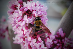 Bee pretty in pink (Xquisite Xposure) Tags: photo nikon xposure xxp xquisite