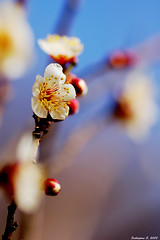 Shine (deer027) Tags: blue sky white flower color tree japan garden spring flora dof blossom plum nikond50 tsukuba ibaraki plumflower plumblossoms tamron90mmf28 floralfavorites