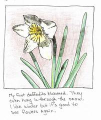 Spring Daffodil by Sydney Harper