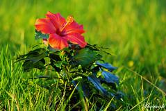Hibiscus Rosa (Thomak) Tags: flower colour geotagged pentax takumar rosa hibiscus 2008 smc f4 hdr couleur k10 aficionados 200mm krzesaj creativecommonsby pentaxk10d pentaxk10 justpentax afcionados thomak comercialuseprohibitedwithoutpermission