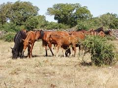 Cavalli del Sarcidano (landismar) Tags: sardegna italy fauna sardinia natura cavalli sardinien sardaigne cerdea galope laconi floraefaunadellasardegna