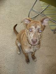 Stuart! (naomi.mimi) Tags: blue dog mix eyes husky stuart boxer brindle