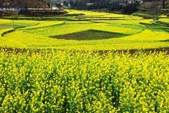 canola field (MelindaChan ^..^) Tags: china field countryside village farm mel melinda guizhou canola    chanmelmel melindachan