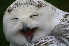 Laughing owl! (catb -) Tags: zoo owl fa snowyowl dublinzoo parkstock supershot interestingness15 i500 onephotoweeklycontest