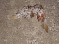 dead bird of some description