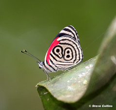 Anna's Eighty-eight (Diaethria anna)