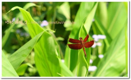 20080503桐花_040