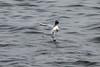 در پی رزق حلال (Jahandar mohebi zanganeh) Tags: sea hunting kingfisher مرغ anzali دریا مرغماهیخوار انزلی شکار بندرانزلی ماهیگیری ماهیخوار