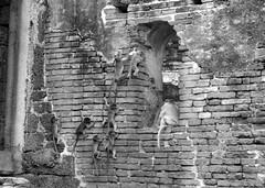 (Cyberian8) Tags: animal fauna canon 350d monkey mono tailandia monkeys animaux diere thailandia  tier buri  lopburi lop monos djur  hayvan desanimaux  hewan haiwan reinoanimal  ivotinja