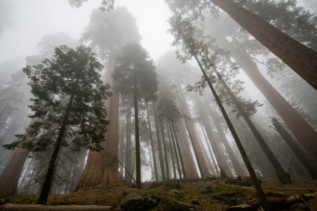 Sequoias in the fog