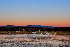 The Motion of the Morning (Fort Photo) Tags: moon newmexico bird nature birds animal sunrise landscape geese nikon bravo wildlife birding bosque nm ornithology lunar moonset bosquedelapache avian snowgeese d300 mywinners abigfave aplusphoto ysplix