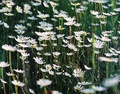 Zenit & the flowers (.e.e.e.) Tags: camera old flowers plants white flower macro green slr film nature analog zeiss hungary superia scan soviet m42 fujifilm zenit russian wildflower carlzeiss superia200 zenit12xp blueribbonwinner supershot mywinners