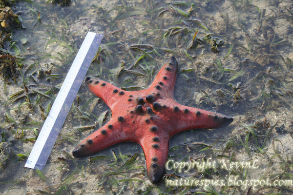 IMG_1293_Knobbly_sea_stars-ruler
