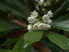 Anopterus glandulosus Tasmanian Laurel (plant.nerd) Tags: white plant flower tasmania gondwana escalloniaceae australianrainforestplants tasmanianlaurel anopterusglandulosus tasmanianrainforestplants anopteris anopterus trfp arfflowers whitearfflowers cooltemperatearf