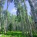 Aspen - Kachina Trail - San Francisco Peaks Wilderness