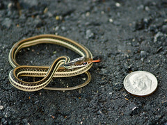 Snake Economics (jciv) Tags: money coin louisiana snake sony cash dime economy stockmarket thamnophis ribbonsnake 3600hs explore1 a350 explore104 sonya350 file:name=dsc09903 gettychosen